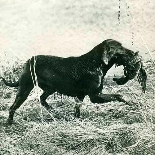labrador kutya