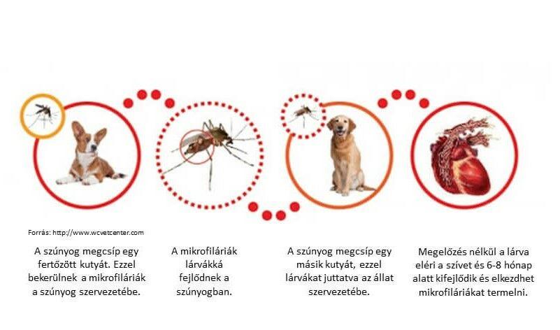 szivfergesseg gyógyitasa Hogyan távolítsuk el a szalagféregeket